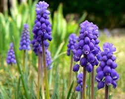 Growing Flowers for Every Season - Muscari (Grape Hyacinth)