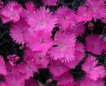Plant Propagation - Taking Cuttings - Dianthus