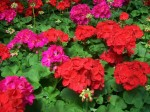 Annuals, Biennials, Perennials and Bulbs