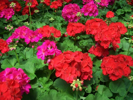 annuals, biennials and perennials