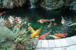 Concrete Koi Ponds