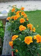 Crop Rotation and Intercropping - French Marigolds