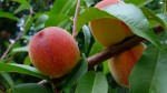 Growing Peaches, Nectarines and Almonds