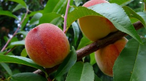 Guide to Growing Peaches, Nectarines and Almonds