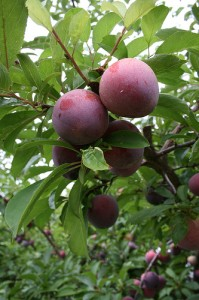 How to Grow Plums and Mulberries