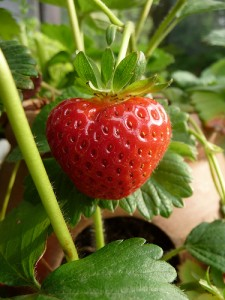 how to grow fantastic fruits - Guide to Growing Strawberries