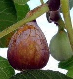 Tips for Growing Figs