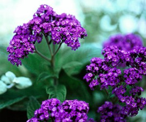 Useful Flowering and Scented Plants - Heliotrope
