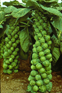 What are Brassicas and Growing Brassicas - brussels sprouts