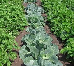 Crop Rotation and Intercropping