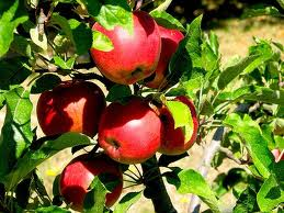 how to grow fruits,nuts and berries - growing apple trees