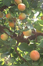 Tips for Growing Apricots