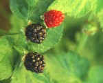 How to Grow Blackberries and Their Hybrids