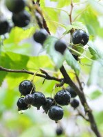 Tips for Growing Blackcurrants