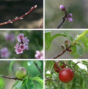 growing nectarines - growing peaches, nectarines and almonds