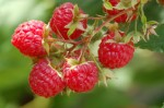 Guide to Growing Raspberries at Home