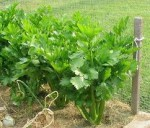 Growing Vegetables Suitable for Salad Beds