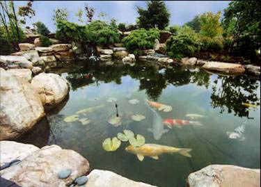 Koi fish ponds for Koi pool water gardens thornton