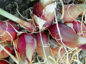 growing alliums - shallots