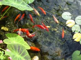 Choosing Fish for the Garden Pond