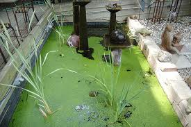 Coping with Algae in Garden Ponds