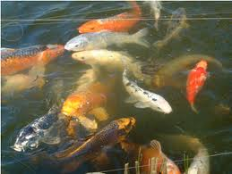 Feeding Fish in the Garden Pond