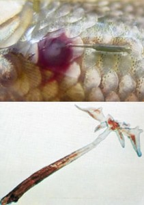 Fish Pests and Diseases - anchor worm