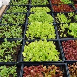 How to Grow Lettuces