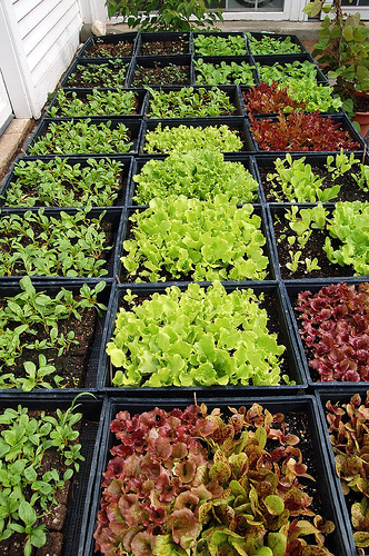 How to grow lettuces for How to cut lettuce from garden