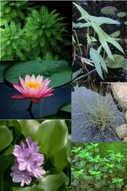 Choosing Water Garden Plants
