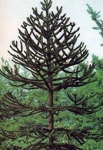 Conifer Tree Varieties for the Garden