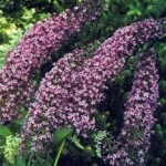 Recommended Shrub Varieties for the Garden