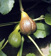 'Brown Turkey' Figs