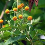 Shrubs for Summer Flowers