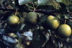 Growing Plums and Gages
