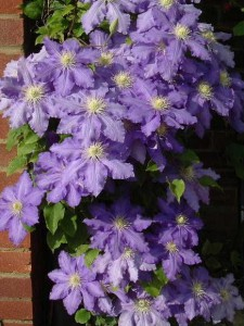 flowering climbing shrubs - Clematis 'Lasurstern'