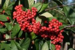 Shrubs with Attractive Fruits