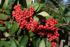 shrubs with attractive fruits - Cotoneaster 'Cornubia'