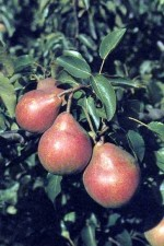 Popular Pear Trees to Grow