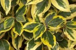 Shrubs Grown for their Foliage