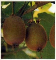 'Hayward' Kiwi Fruit