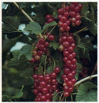 'Jonkheer Van Tets' Red Currants