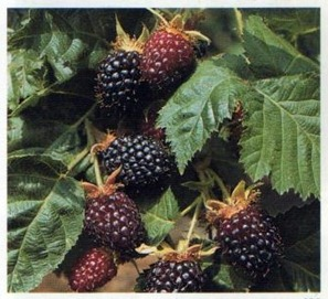 King's Acre Berry - cross between raspberry and blackberry