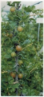 Tips for Growing Gooseberries