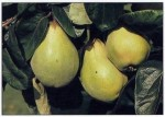 Growing Quince and Medlars