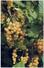 'White Versailles' white currants