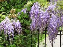 flowering climbing shrubs - Wisteria sinensis