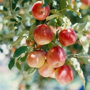 where to buy your fruit trees