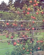 Different Ways of Growing Fruit