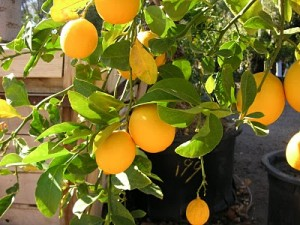 guide to growing citrus fruits